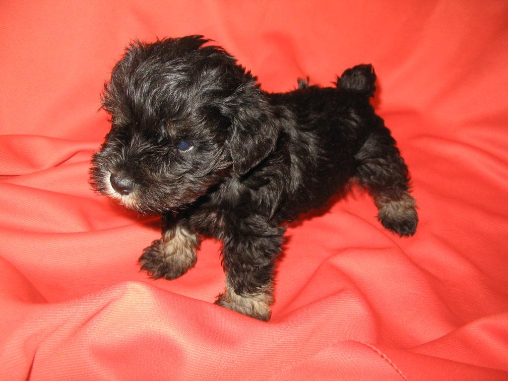 Iowa Miniature Schnauzer Puppy